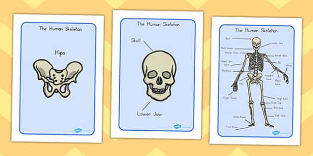 Human Skeleton Display Posters - humans, skeleton, ourselves