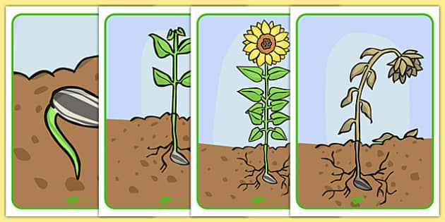 Life Cycle of a Sunflower Display Posters - Bean, growth, plant, life cycle, lifecycle, display, banner, poster, plant growth, beans, garden, Topic, Foundation stage, knowledge and understanding of the world, investigation