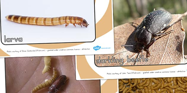 Darkling Beetle Life Cycle Display Photos - life cycles, photo