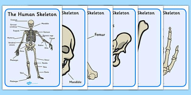 Human Skeleton Display Posters Scientific Names - display, poster