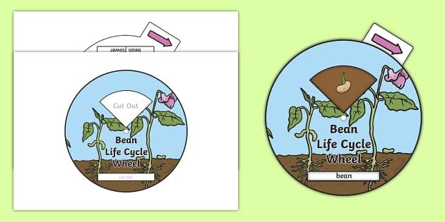 Bean Life Cycle Spin Wheel - life cycles, visual aid, wheels
