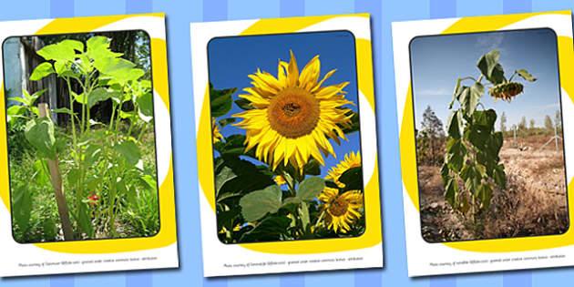 Sunflower Life Cycle Display Photos - australia, sunflower, life