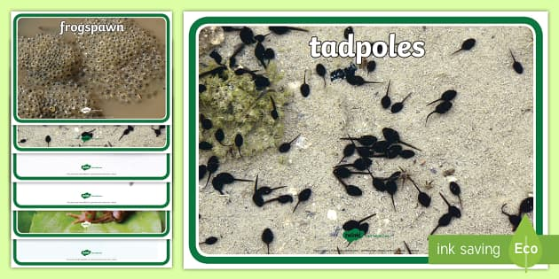 Life Cycle of a Frog Display Photos - Frog, life cycle, lifecycle, display, photo, display Photos, display, photos, Frogspawn, Tadpole, Froglet, Frog, Minibeasts, Topic, Foundation stage, knowledge and understanding of the world, investigation, livin