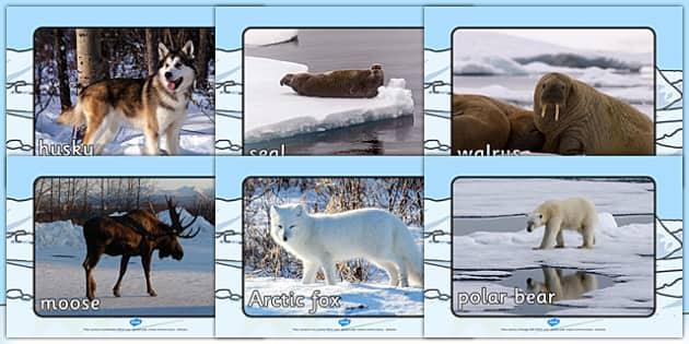 Arctic Animals Display Photos - Arctic, winter, animal, photo, Display Photos, display, winter photo, snowflake, fox, hare, polar bear, whale, penguin, huskey, snow, winter, frost, cold, ice, hat, gloves