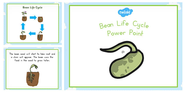 Bean Life Cycle PowerPoint - australia, bean, life cyle, cycle