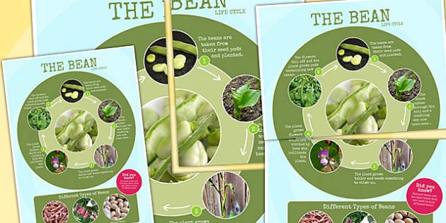 Bean Life Cycle Photo Large Display Poster - minibeast, lifecycle