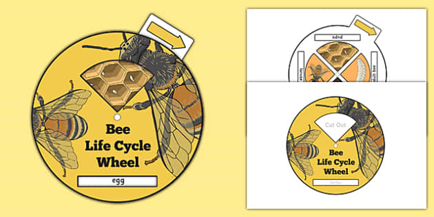 Bee Life Cycle Spin Wheel - life cycles, visual aid, minibeasts
