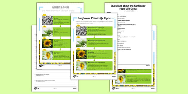 Sunflower Plant Life Cycle Differentiated Reading Comprehension Mandarin Chinese Translation - mandarin chinese, plant, plants, life cycle, reading, KS1, comprehension, questions