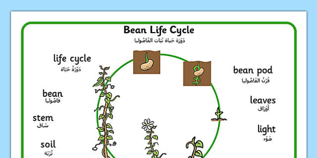 Bean Growth Word Mat Arabic Translation - arabic, Bean, plants, word mat, plant lifecycle, Topic, Foundation stage, knowledge and understanding of the world, living things, plant growth