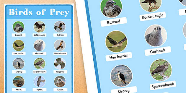 UK Birds of Prey Display Poster - uk birds, birds of prey, display poster, display, poster