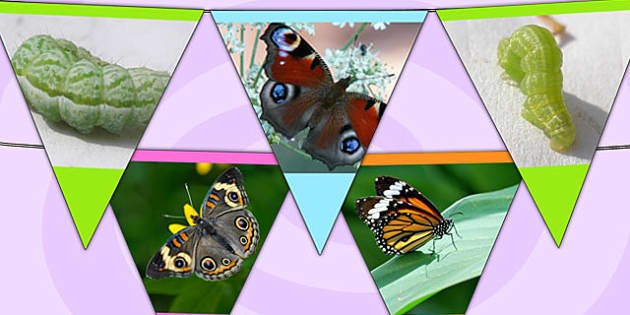 Butterfly Life Cycle Display Photo Bunting - life cycles, photos