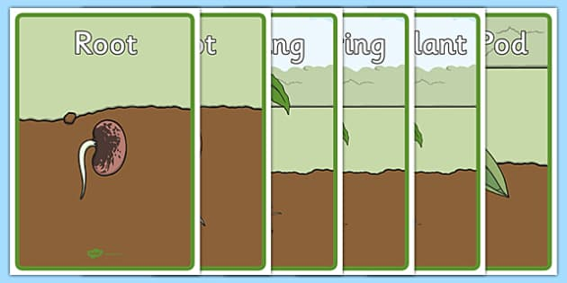 Life Cycle of a Bean Display Posters - Bean, growth, plant, life cycle, lifecycle, display, banner, poster, plant growth, beans, garden, Topic, Foundation stage, knowledge and understanding of the world, investigation