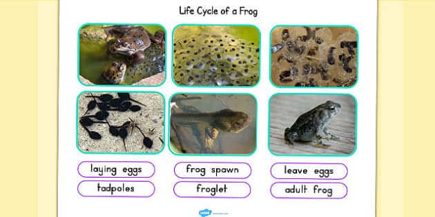 Life Cycle of a Frog Photo Cut Out Pack - life cycles, lifecycle