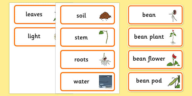 Life Cycle of a Bean Display Posters - Bean, growth, plant, life cycle, lifecycle, Word cards, Word Card, flashcard, flashcards, plant growth, beans, garden, Topic, Foundation stage, knowledge and understanding of the world, investigation