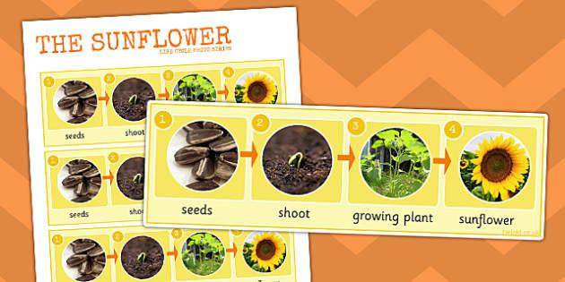Sunflower Life Cycle Photo Strip - sunflower, life cycle, photo