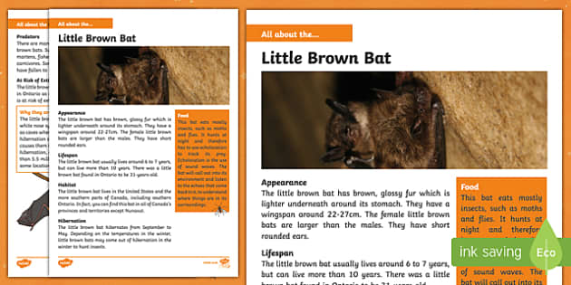 Little Brown Bat Fact File
