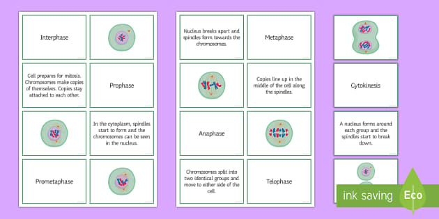 Mitosis Sorting Cards - Biology Week, Mitosis, Interphase, Prophase, Metaphase, Cytokinesis, Prometaphase, Teolphase, Anapha
