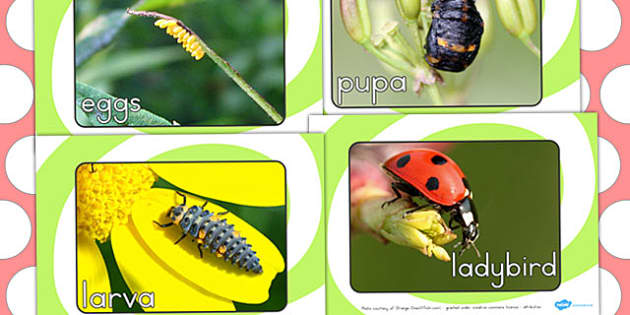 Ladybird Life Cycle Display Photo Pack - life cycles, lifecycle