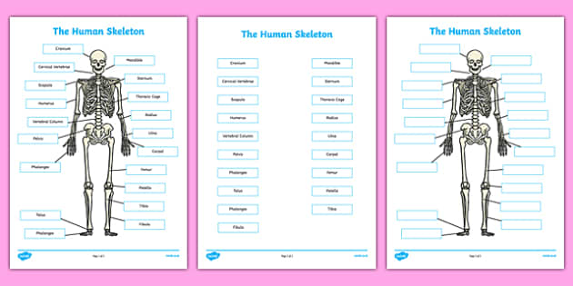 Human Skeleton Labelling Sheets Scientific Names - body, labels