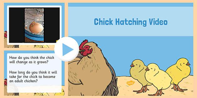 Chick Hatching Video PowerPoint - powerpoint, power point, interactive, chick hetching video, hatching chick video, video powerpoint, life cycle of a hen, hen lifecycle powerpoint, video, powerpoint presentation, presentation, slide show, slides, dis