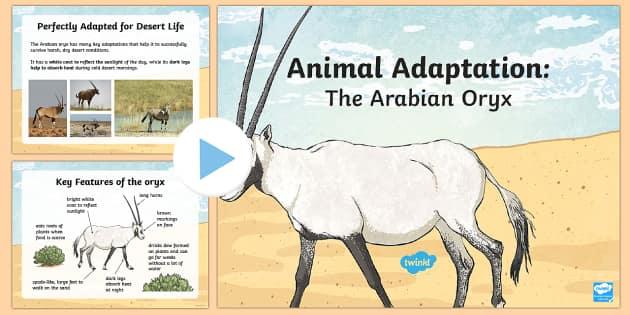 The Arabian Oryx Adaptation PowerPoint - Science, living World, adaptation, camouflage, animal, oryx, UAE.