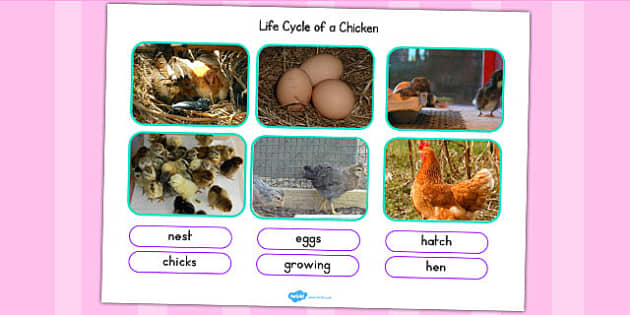 Life Cycle Of A Chicken Photo Cut Out Pack - life cycles, photos