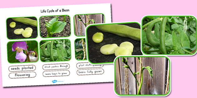 Life Cycle of a Bean Photo Cut Out Pack - australia, life cycle