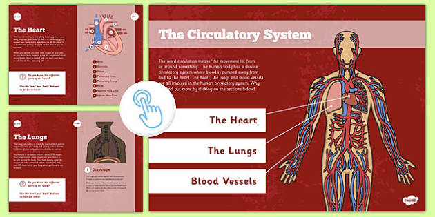 Year 6 Interactive Science PDF The Circulatory System - year 6, interactive, science, pdf, the circulatory system
