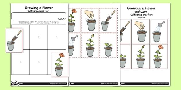 Activity Sheet Growing a Flower Romanian Translation - romanian, activity sheet, growing, flower, worksheet