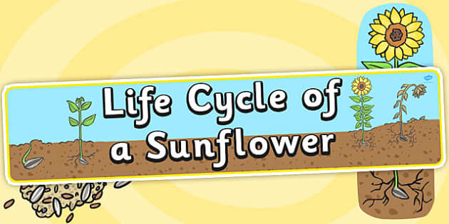 Life Cycle of a Sunflower Display Banner - Bean, growth, plant, life cycle, lifecycle, display, banner, poster, plant growth, beans, garden, Topic, Foundation stage, knowledge and understanding of the world, investigation