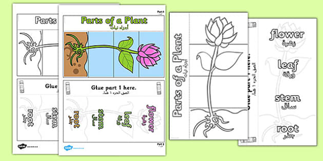 Parts of a Plant Foldable Interactive Visual Aid Template Arabic Translation - translation, science, KS2, nature, growth, activity, craft, working wall
