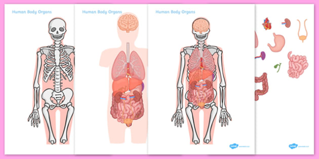 Body picture with organs