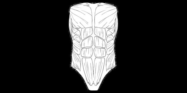 Abdominal Muscles Human Body Anatomy Science Ks2 Bw Rgb Illustration
