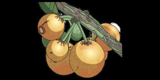 African Mangosteen Garcenia Livingstonei Fruit Spith Africa Food Plant