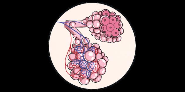 Alveoli Respiratory System    KS2    Illustration  Twinkl