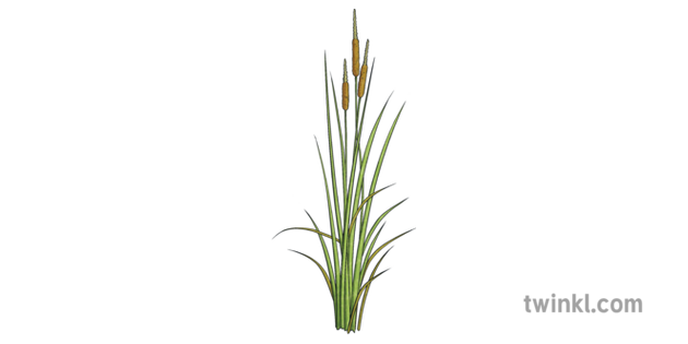 Cattail Inanimate Object Plant Reeds Delta Dunarii Romania Ks2