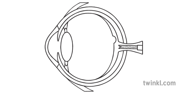 Cross Section Of A Human Eye Diagram Black And White Illustration