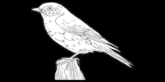 Eastern Bluebird Bird Animal American United States New York Mps Ks2 Black