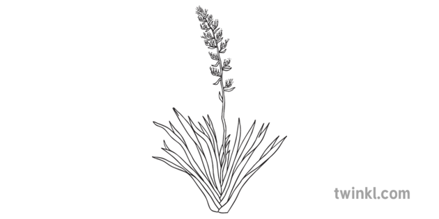 Flax Harakeke New Zealand Native Plants Ks1 Black And White Illustration