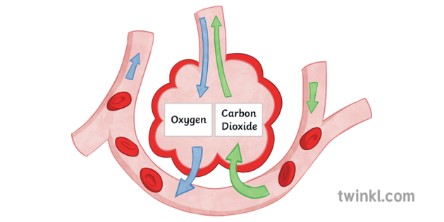 gas exchange in the alveoli science diagram biology ks3 ks4