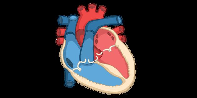 Heart Diagram GCSE Illustration - Twinkl