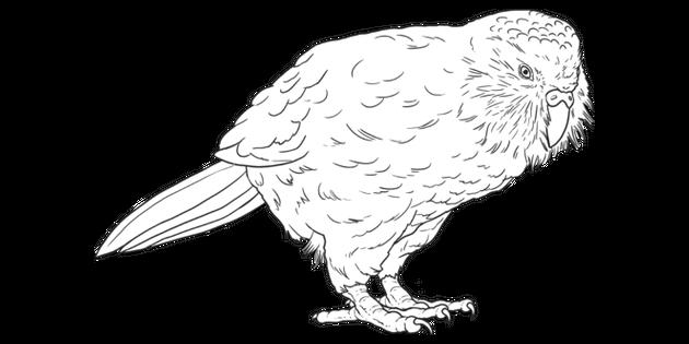 Kakapo Animal Bird Parrot Flightless Back To School 2020 New Zealand Ks2