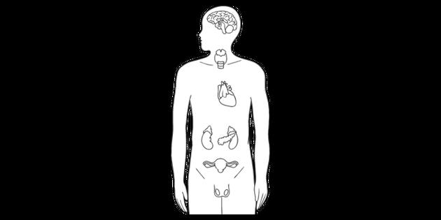 Major Endocrine Glands Diagram Biology Human Body Organs Ks4 Black And