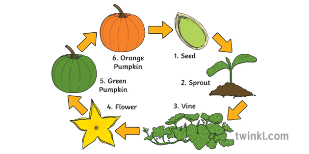 Pumpkin Life Cycle With Labels Illustration - Twinkl