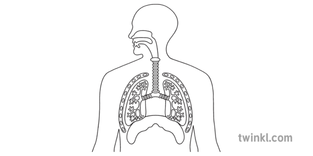 Respiratory System With Vocal Cords English Biology Diagram Human Body
