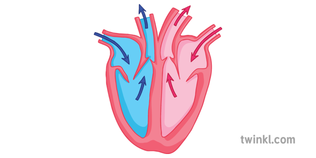 Simple Section Heart Diagram Science Secondary Illustration
