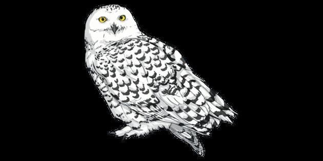 Snowy Owl Bird Animal Ks2 Illustration Twinkl
