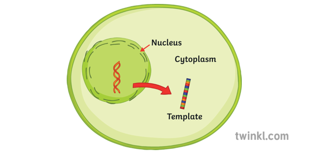 Template Moves From Nucleus to Cytoplasm of Cell Protein