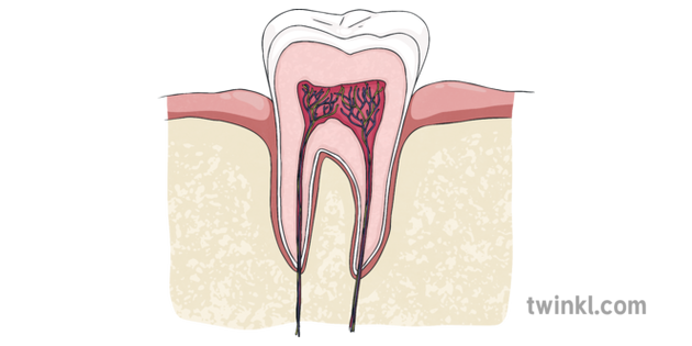Tooth Cross Section Diagram No Label Dentist Teeth Mouth Jaw Health Care