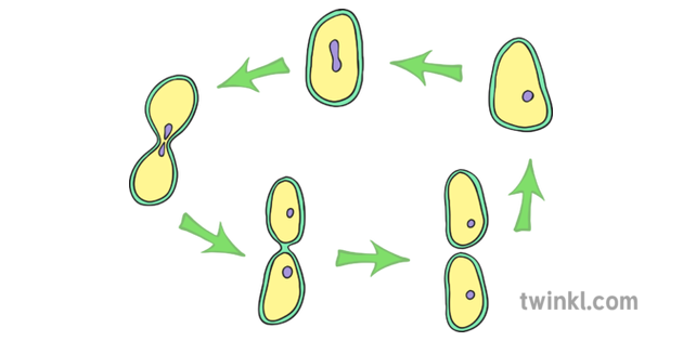 Asexual Reproduction Illustration - Twinkl